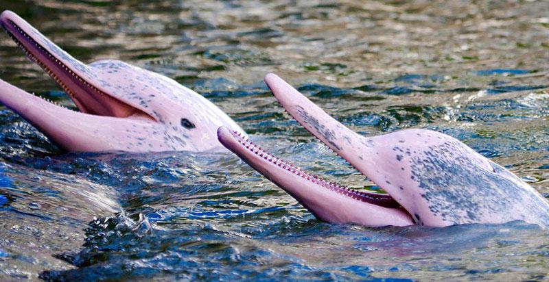Amazon Nehri Pembe Yunuslar