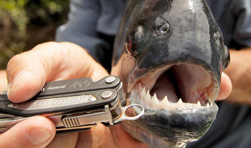 Pirana Balığı Amazon