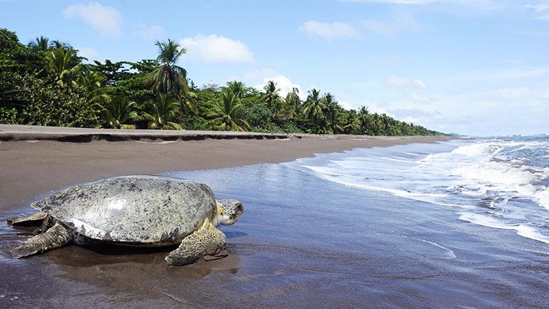 Tortuguero Kosta Rika Gezisi