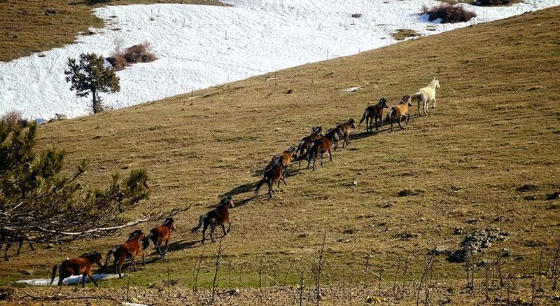Manisa Spil Dağı Yılkı Atları