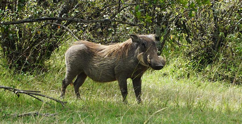 Kenya Safari Hayvanları