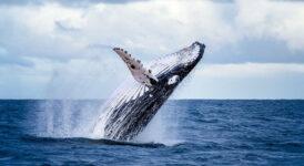 Balina İzleme Turları